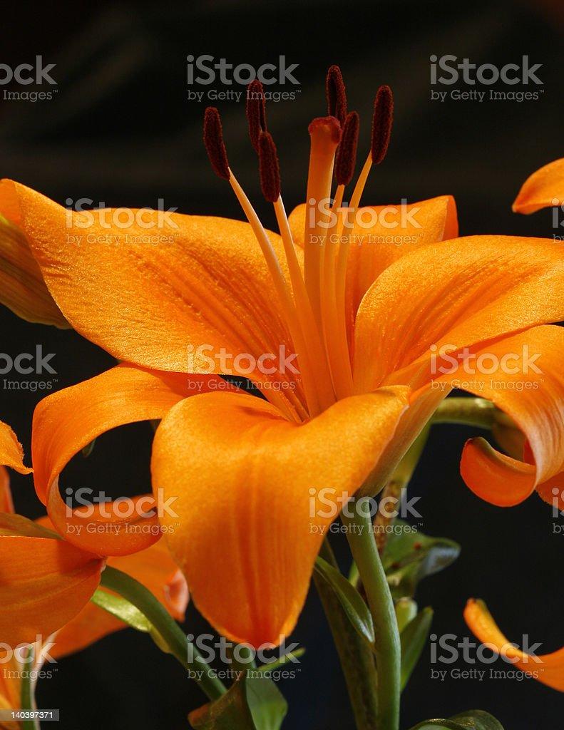Orange Lilly stock photo