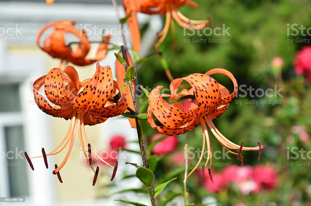 Orange lily black spots stock photo