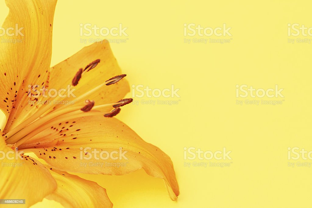 Orange Lily Flower on Yellow Background royalty-free stock photo