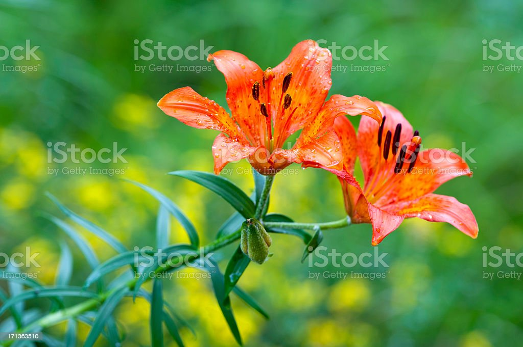 Orange Lily Flower stock photo