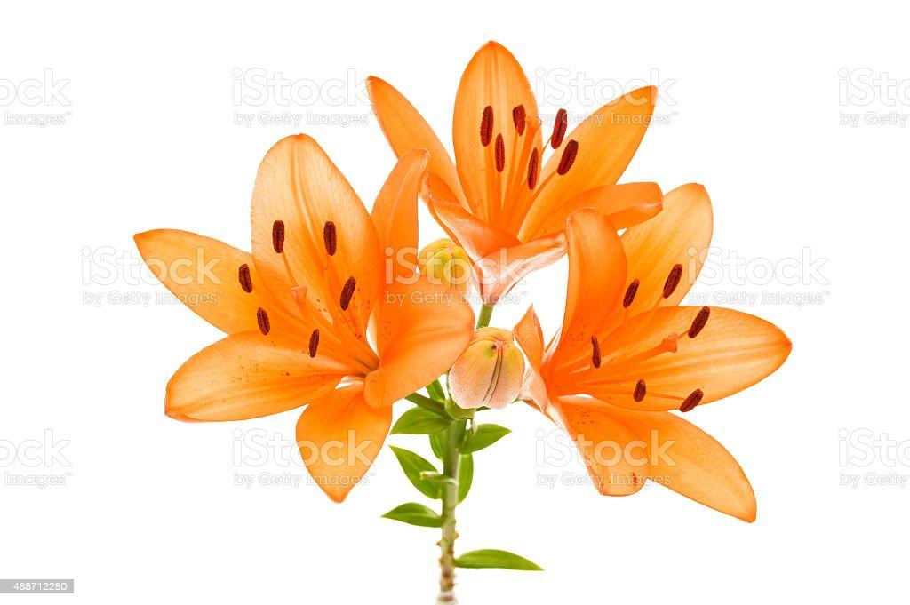 Orange lily isolated stock photo
