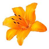 Orange Lily on White