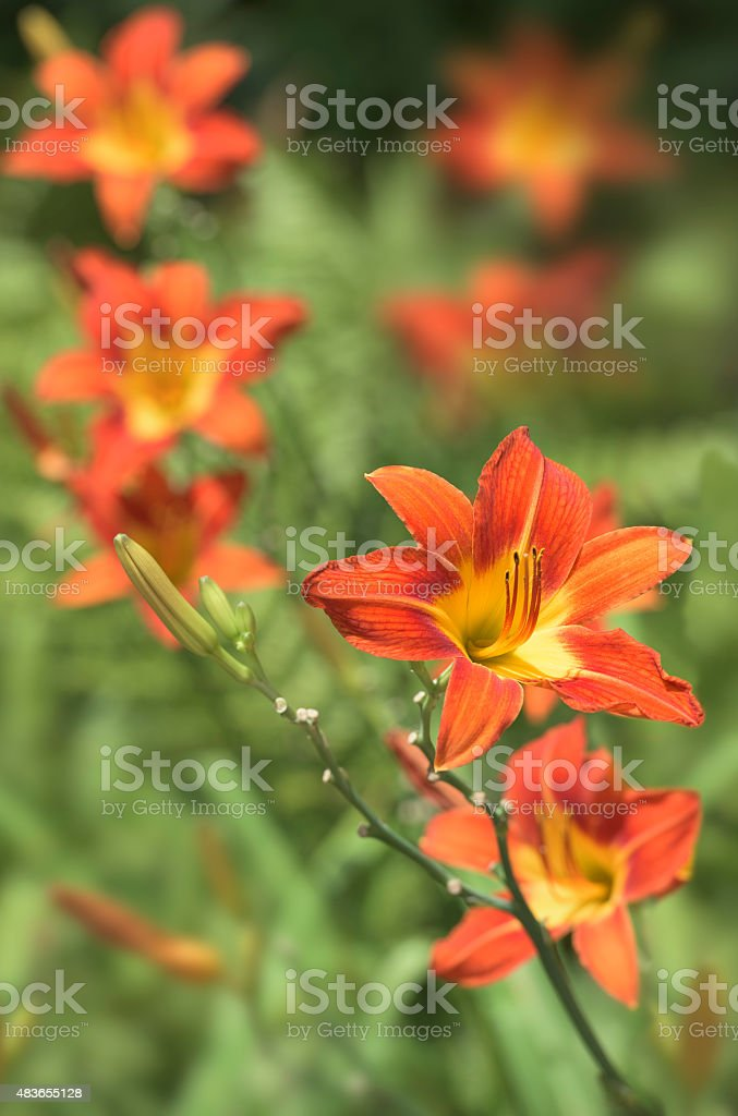 Orange lily or fire lily stock photo