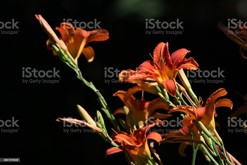 Orange lily (Lilium bulbiferum). stock photo