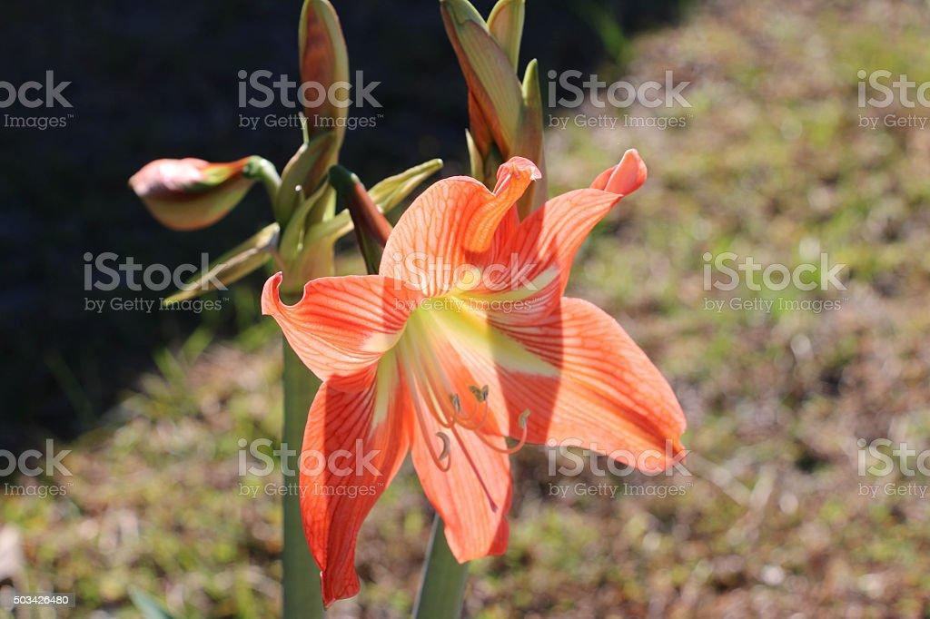 Orange Lily stock photo