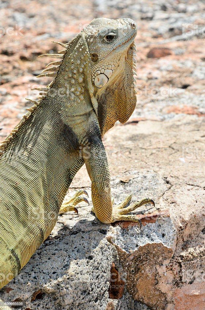 Orange lizard on rock in the natural habitat stock photo