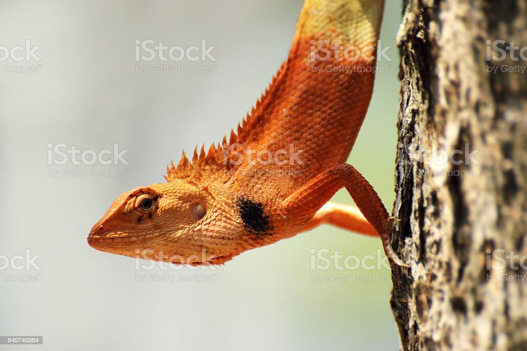 orange lizard sitting on the tree stock photo