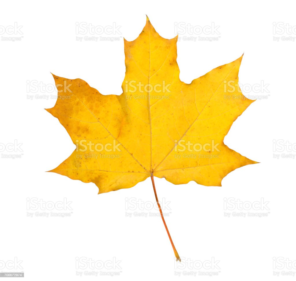 Orange maple leaf isolated on white. Autumn dry leaf stock photo