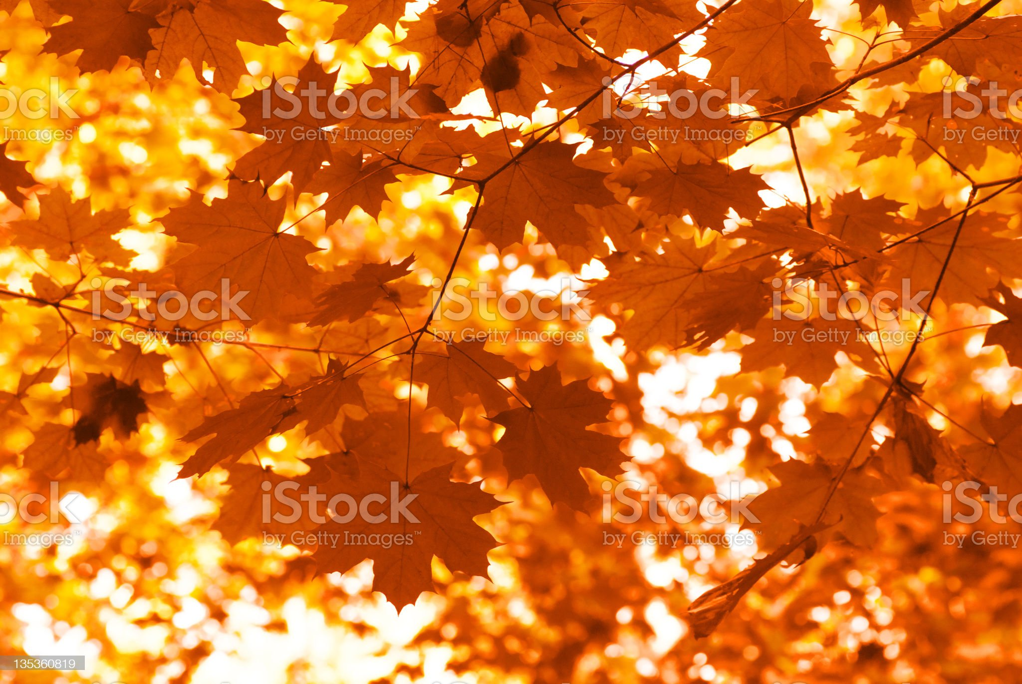 Orange maple leaves royalty-free stock photo