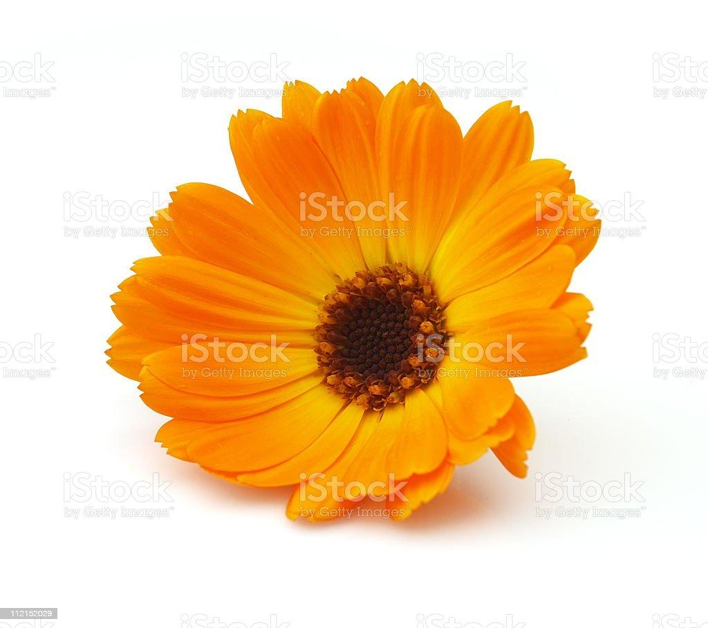 Orange marigold isolated on white background royalty-free stock photo