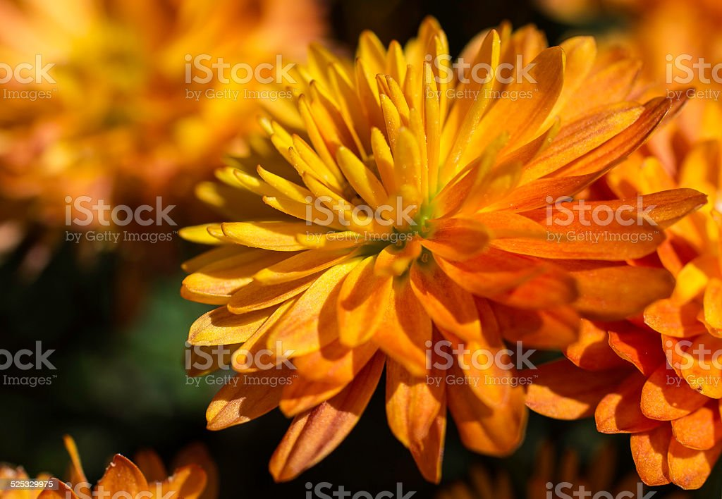 Orange Marigold stock photo