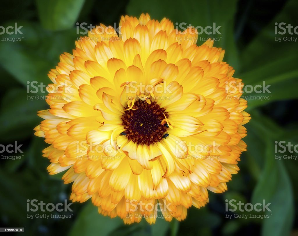 Orange marigold with pollinating insects stock photo