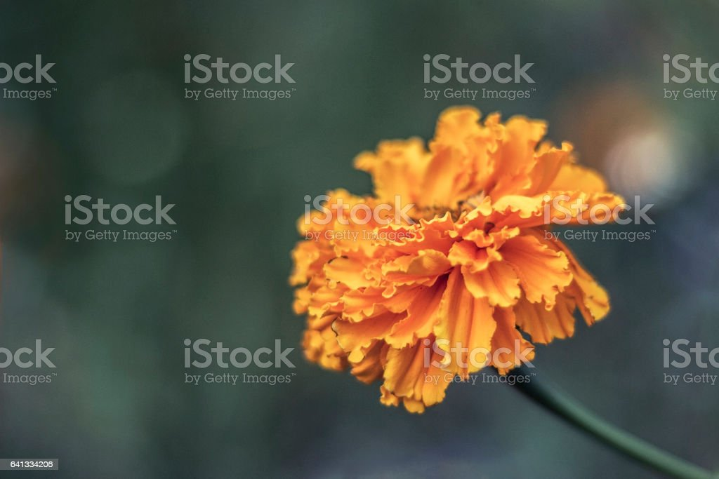 orange marigolds in the Garden stock photo