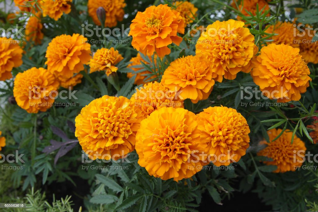 Orange marigolds on a flower bed closeup. Flowers stock photo