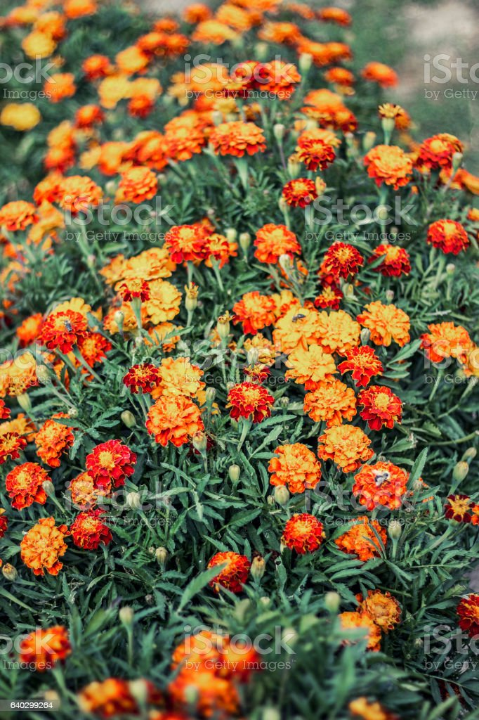 orange marigolds stock photo