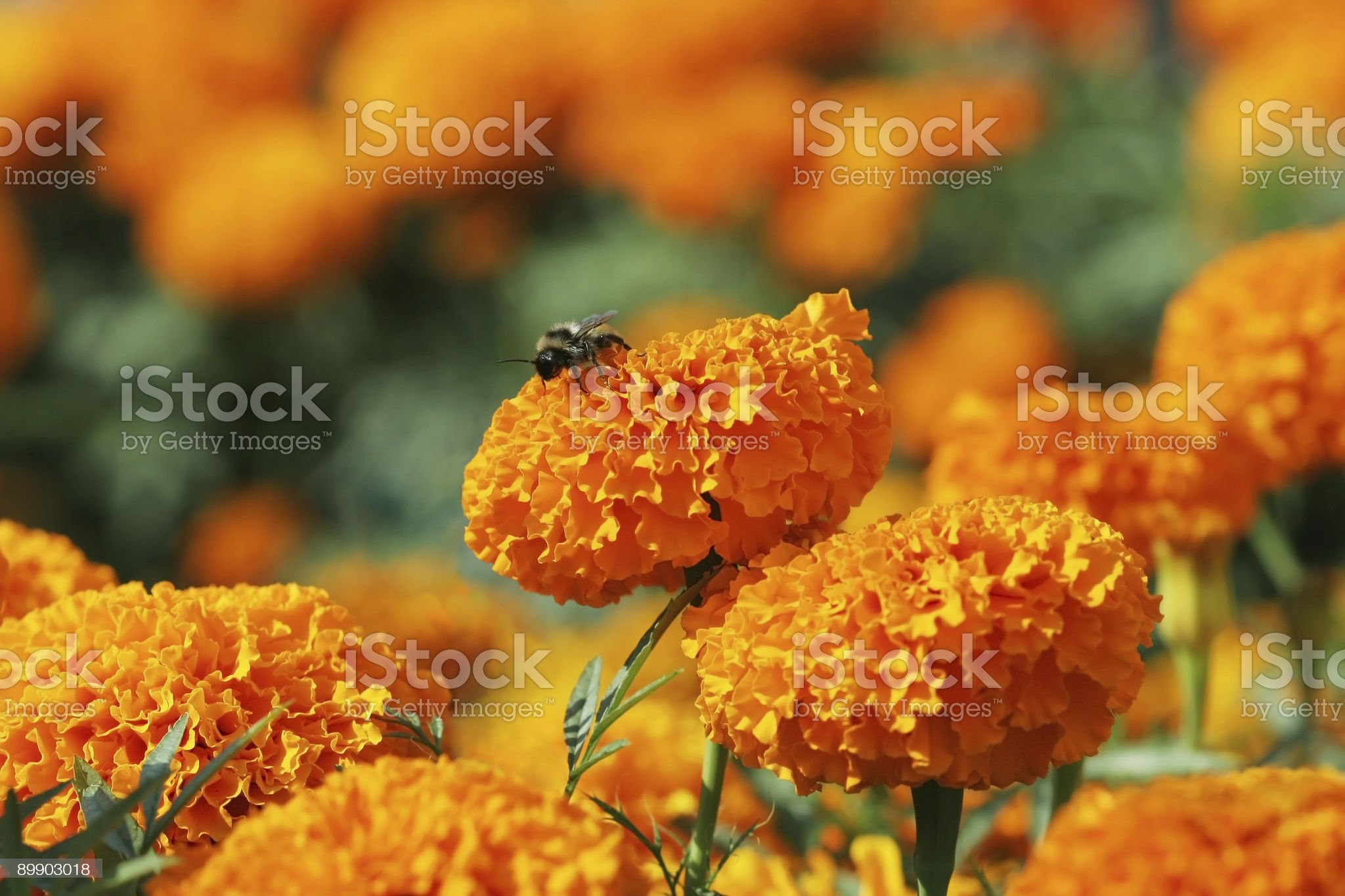 Orange marigolds with bee royalty-free stock photo