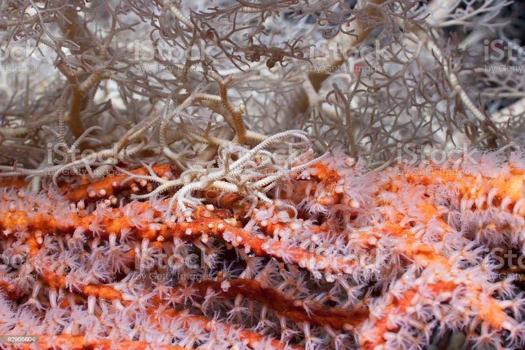 Orange meets White: Basket Star holding on Gorgonian Sea Fan royalty-free stock photo