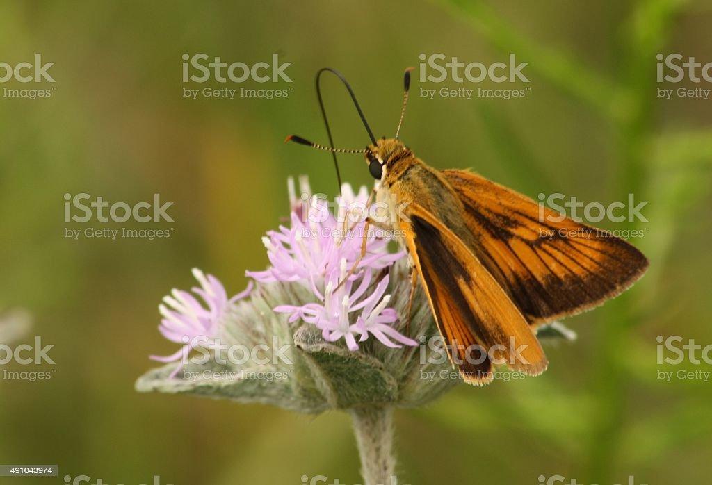 Papillon Orange sur Fleur violet photo libre de droits