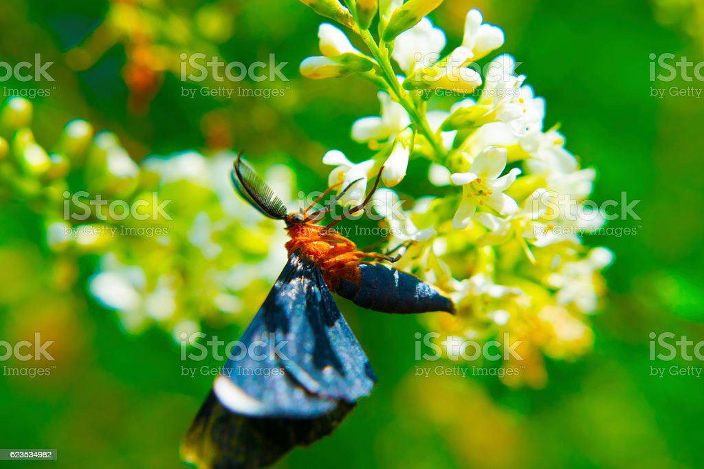 Orange Moth stock photo