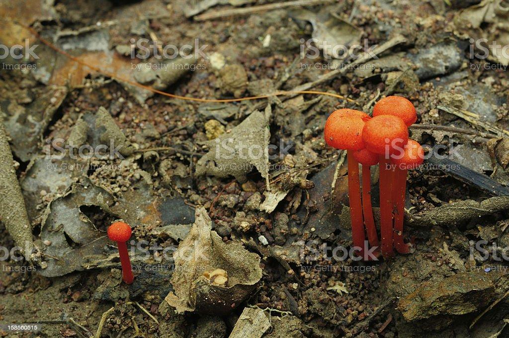 Orange mushrooms on the ground at Thai National Park. stock photo