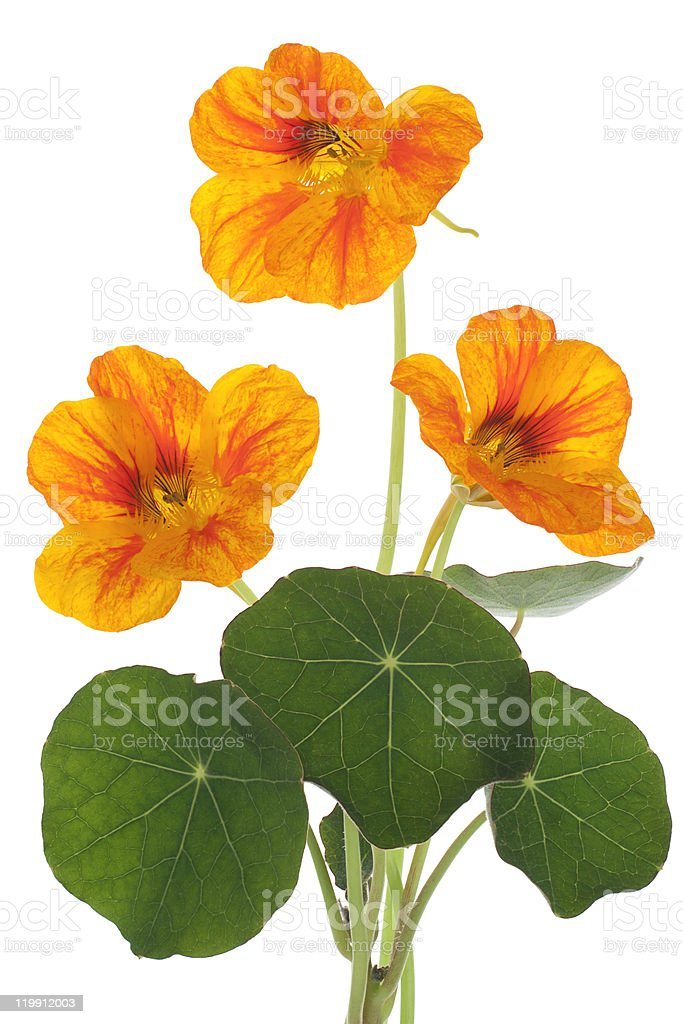 Orange nasturtium flowers with leaves royalty-free stock photo