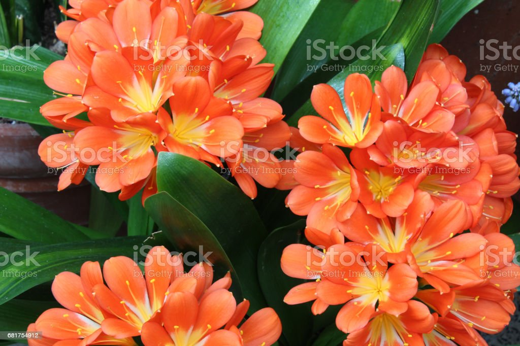 Orange Natal lily blossoms with leaves stock photo