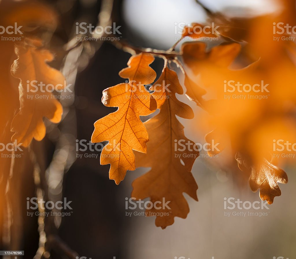 Orange Oak Leaves royalty-free stock photo