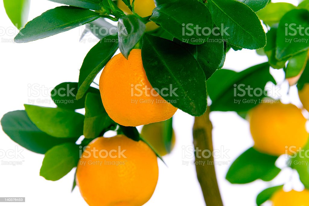 Orange on tree royalty-free stock photo