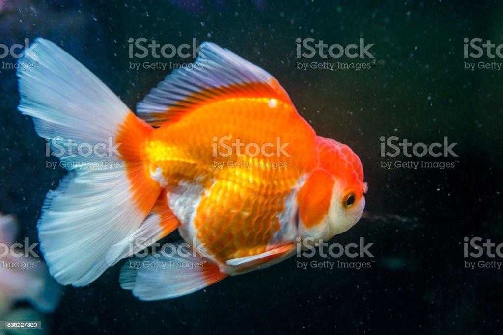 Orange Oranda Goldfish swimming stock photo