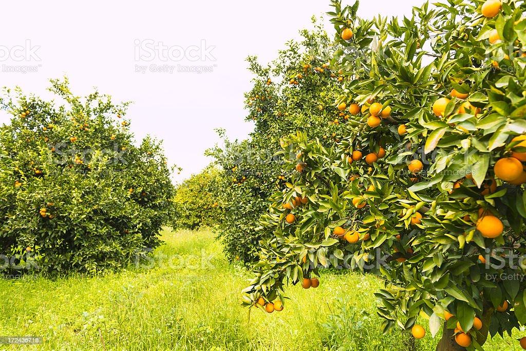 Orange orchard royalty-free stock photo