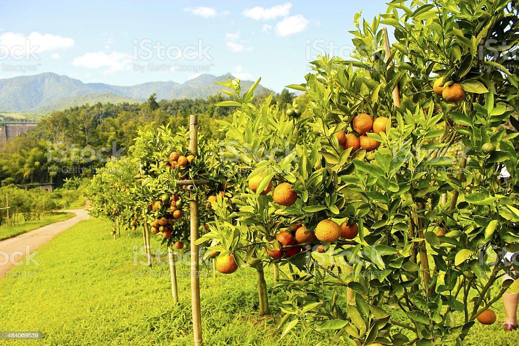 Orange orchard stock photo