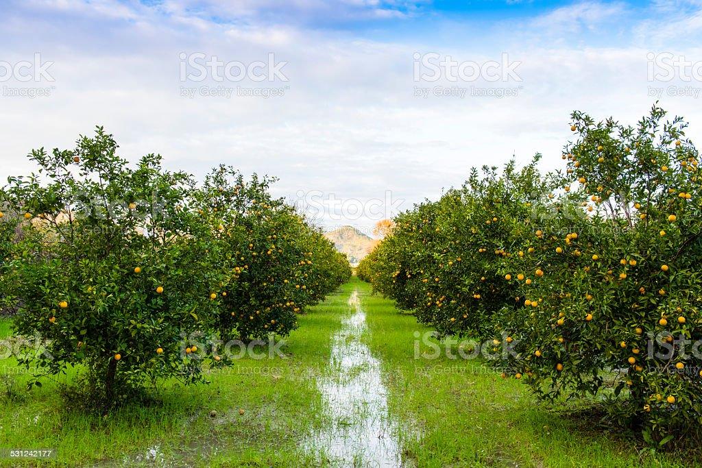 Orange Orchard, Turkey stock photo