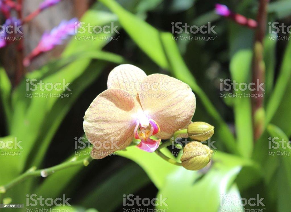 Orange Orchid at Xcaret Park, Mexico's sacred paradise royalty-free stock photo