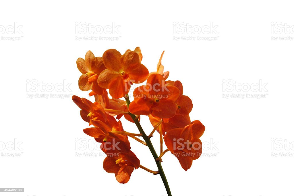 Orange orchid flowers for home decoration. stock photo