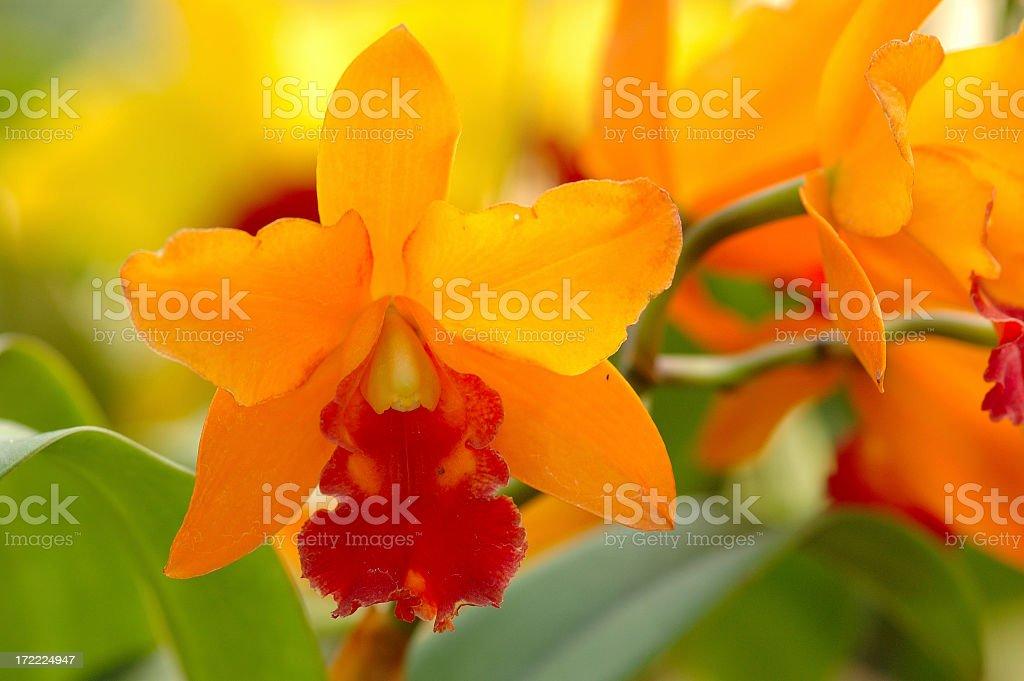 Orange orchid royalty-free stock photo