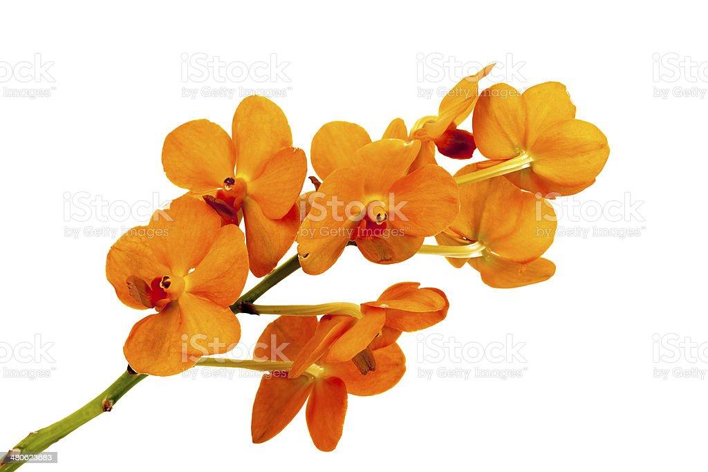 Orange Orchid. stock photo