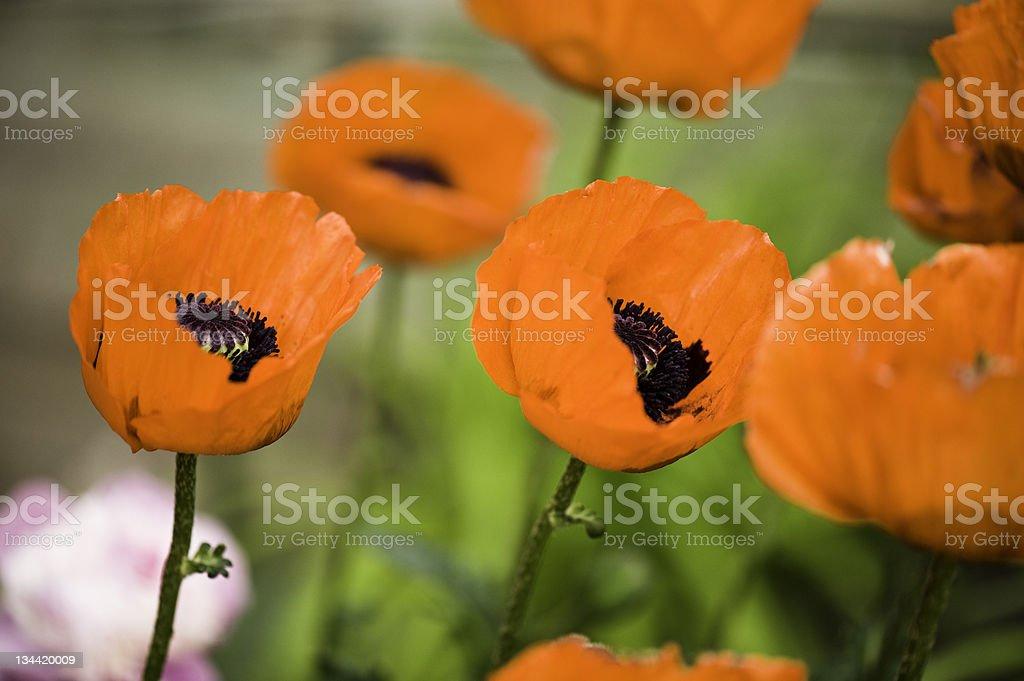 Orange Oriental Poppy Flowers stock photo