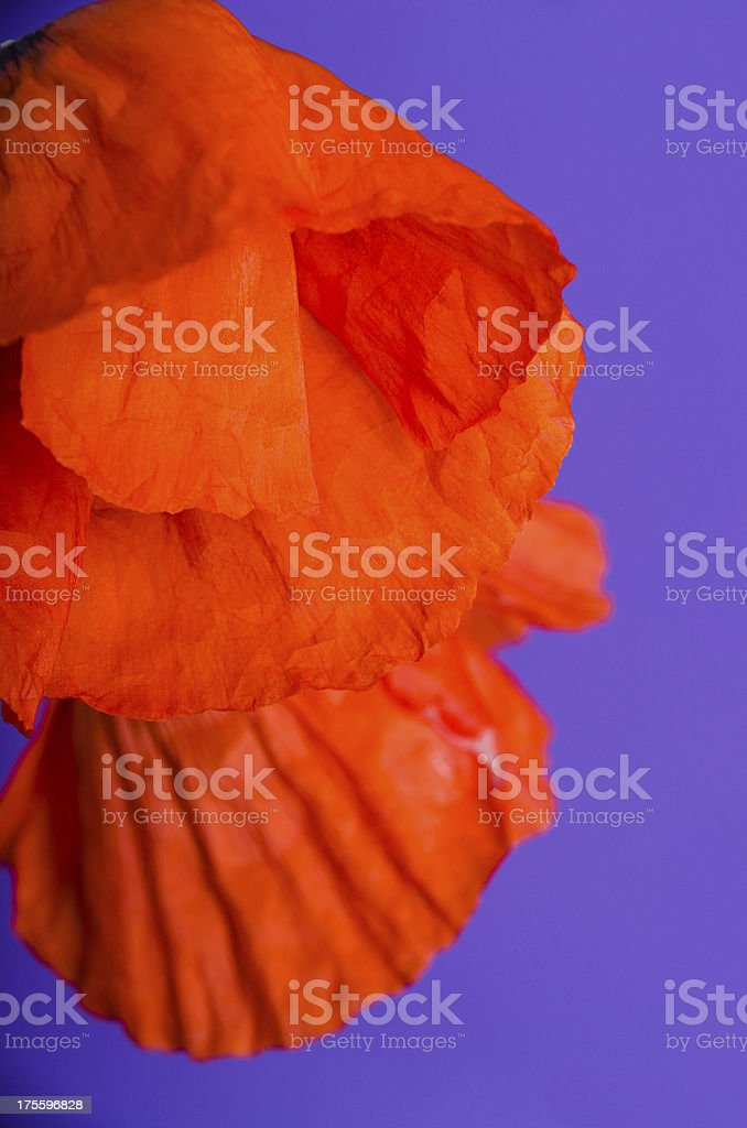 Orange Oriental poppy on purple. royalty-free stock photo