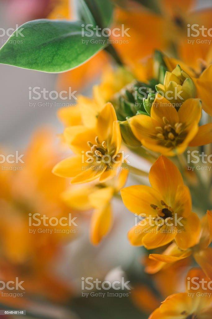 Orange Ornithogalum dubium, sun star or star of Bethlehem stock photo