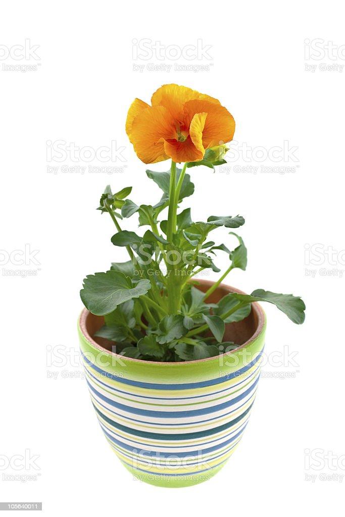 orange pansy's sprout in ceramic pot stock photo