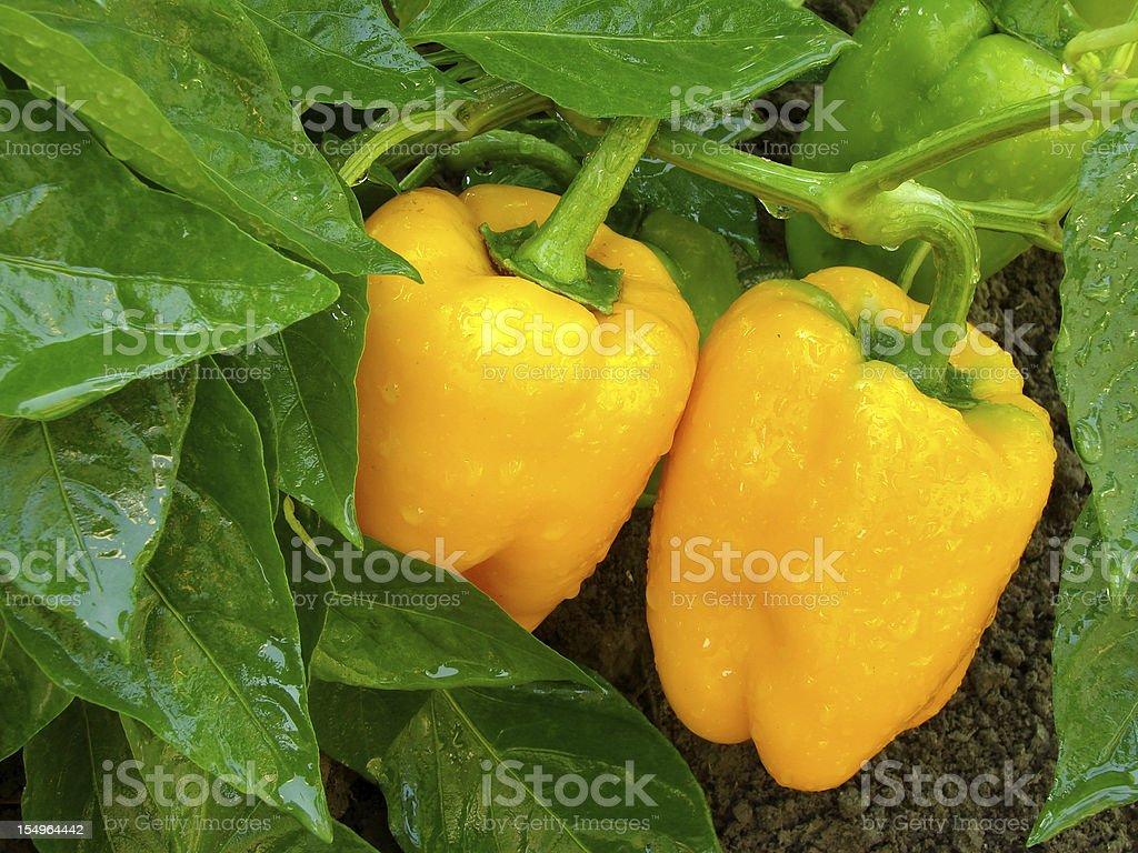 orange peppers stock photo
