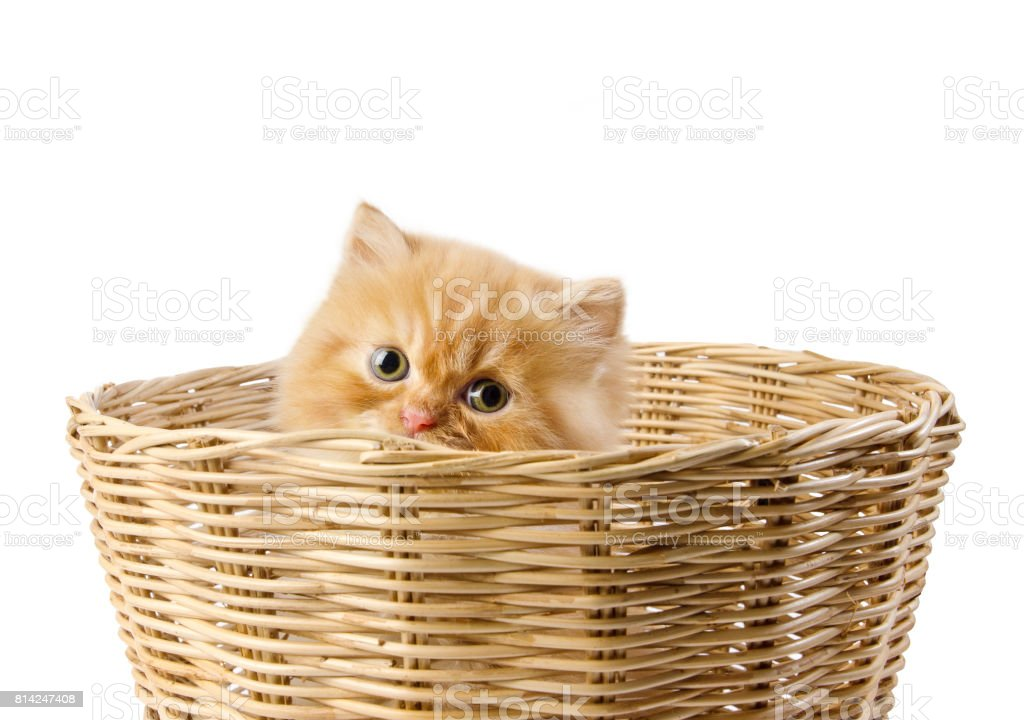 Orange Persian Kitten Cat Peeking out from behind Willow Baskets isolate on white background stock photo