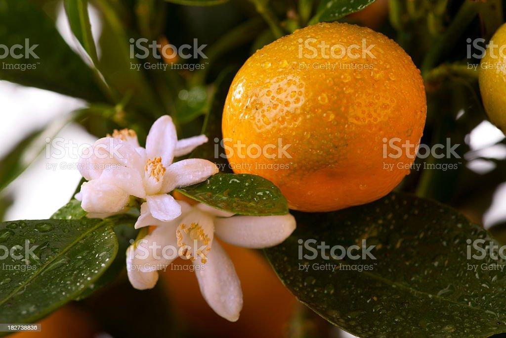 Orange (Galamondin) stock photo