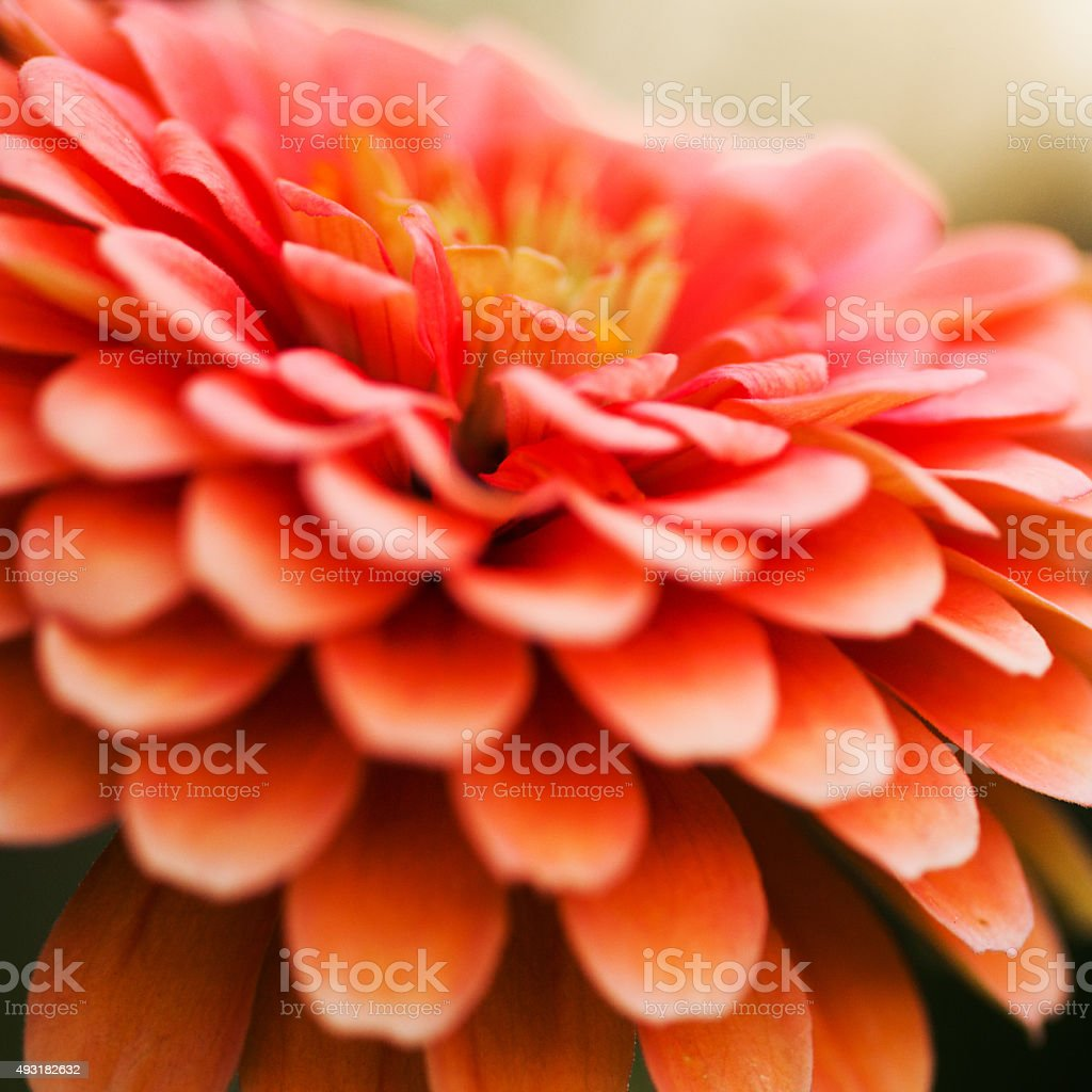 Orange pink zinnia in bloom during summertime stock photo
