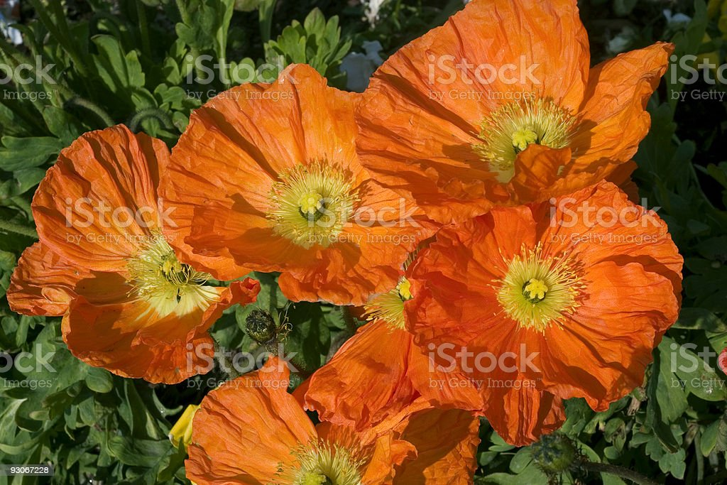 Orange poppies royalty-free stock photo