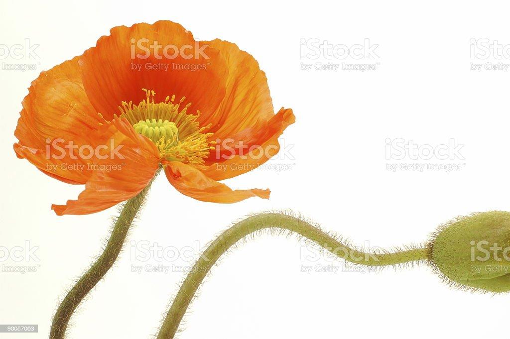 Orange Poppy 4 royalty-free stock photo