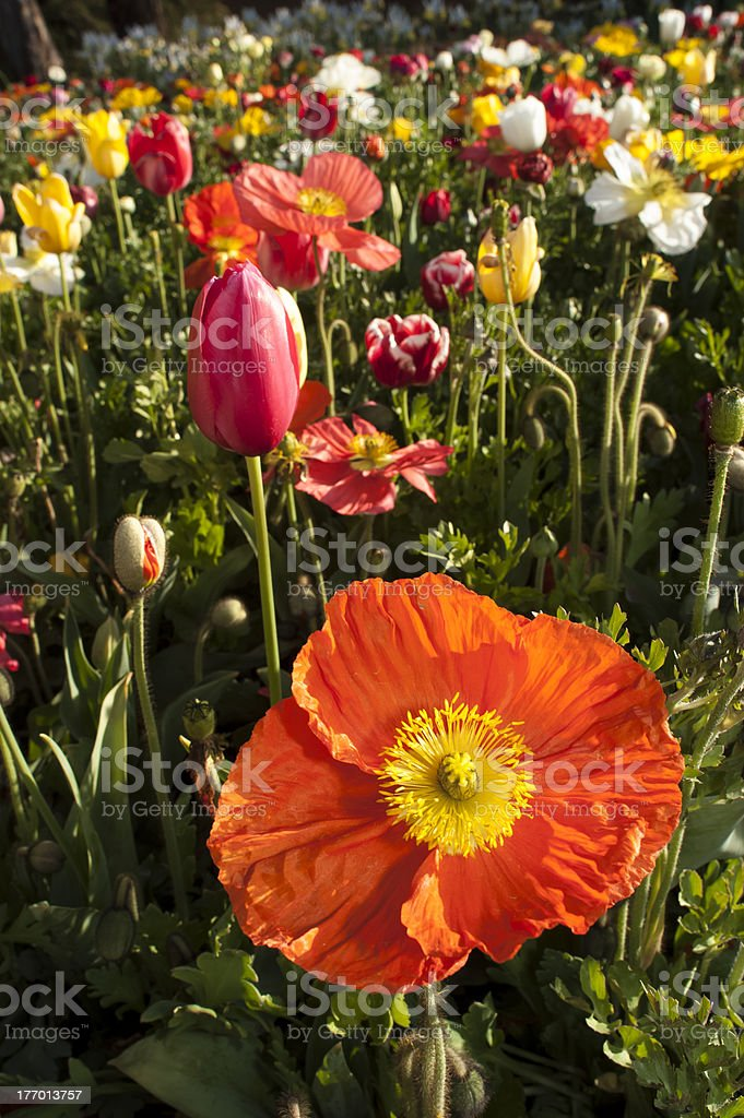 Orange poppy and spring flowers mixed colours royalty-free stock photo