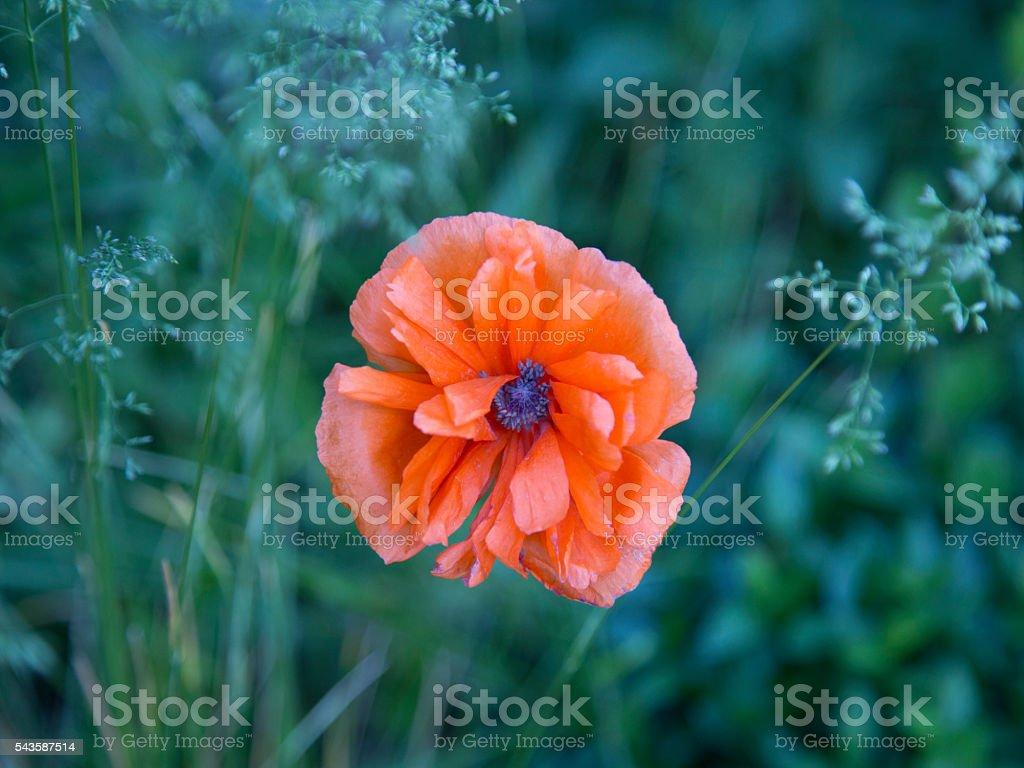 Orange Poppy Flower with Purple Center and Green Grass Background stock photo