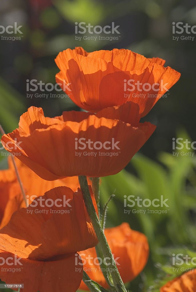 Orange Poppy flowers - II royalty-free stock photo