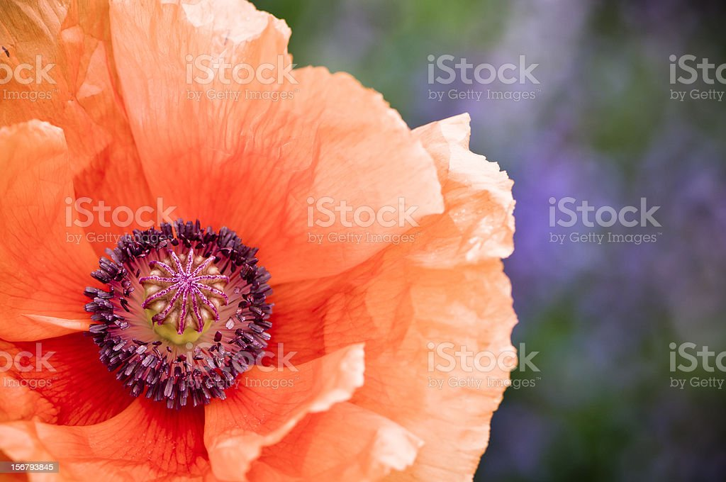 Orange poppy royalty-free stock photo